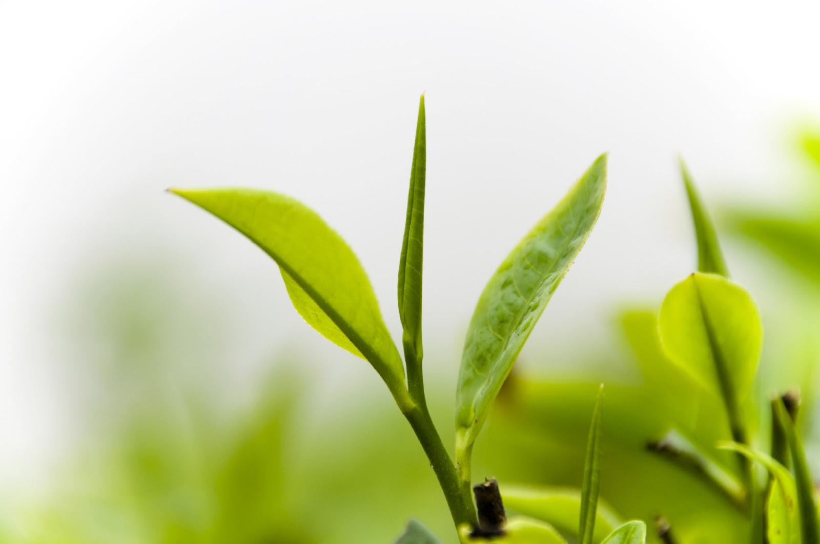 Nước trà xanh giúp trị sẹo lồi lâu năm 2