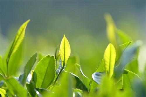 Nước trà xanh giúp trị sẹo lồi lâu năm 4